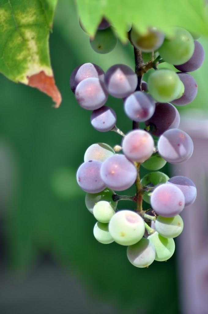 Naturmakros - Weintrauen Makro