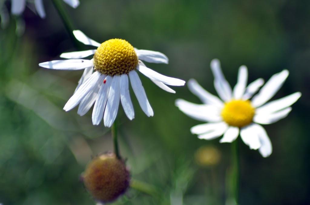 Naturmakros - Gänseblümchen
