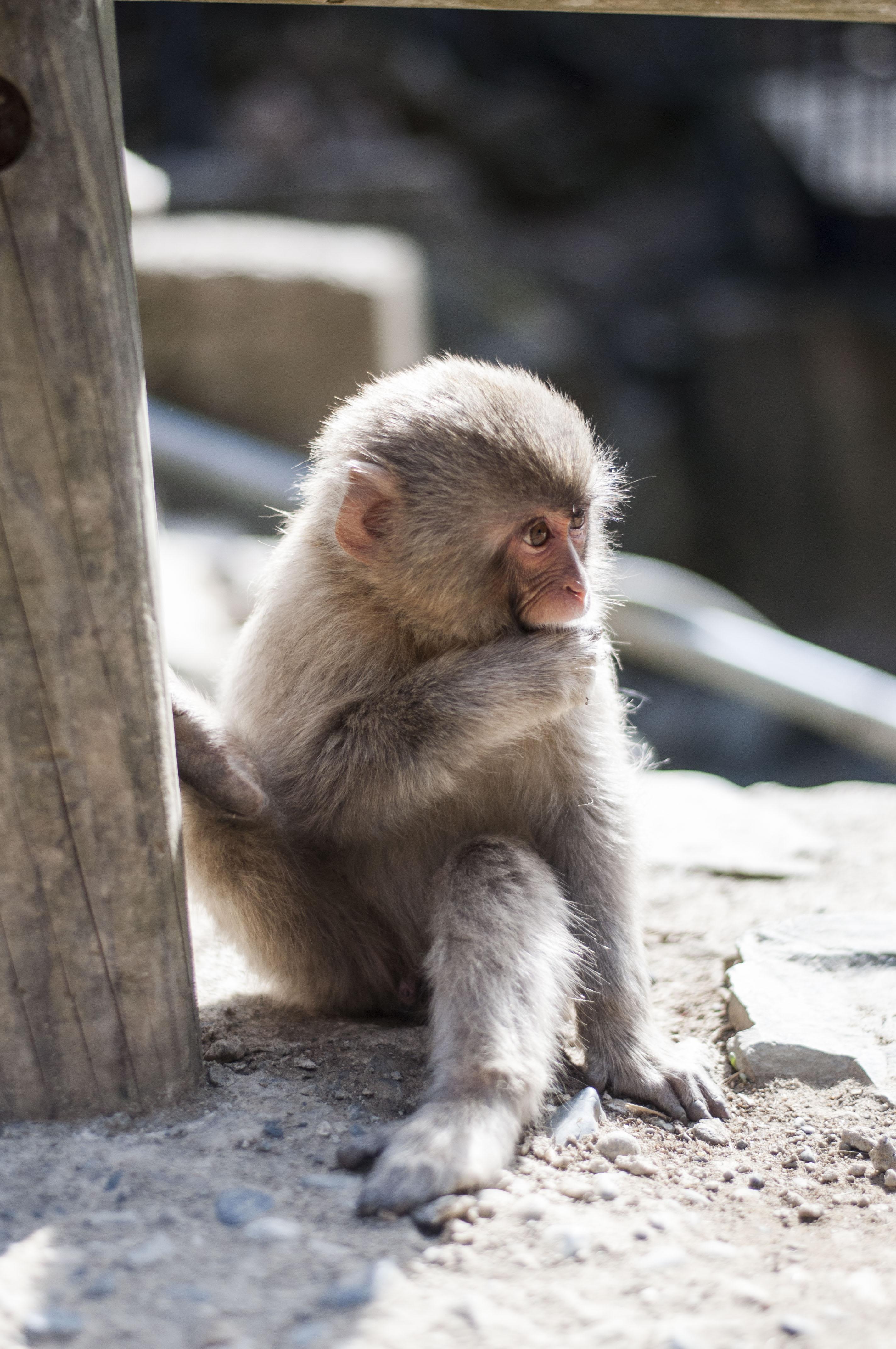 Äffchen Nagano Snow Monkey Pass