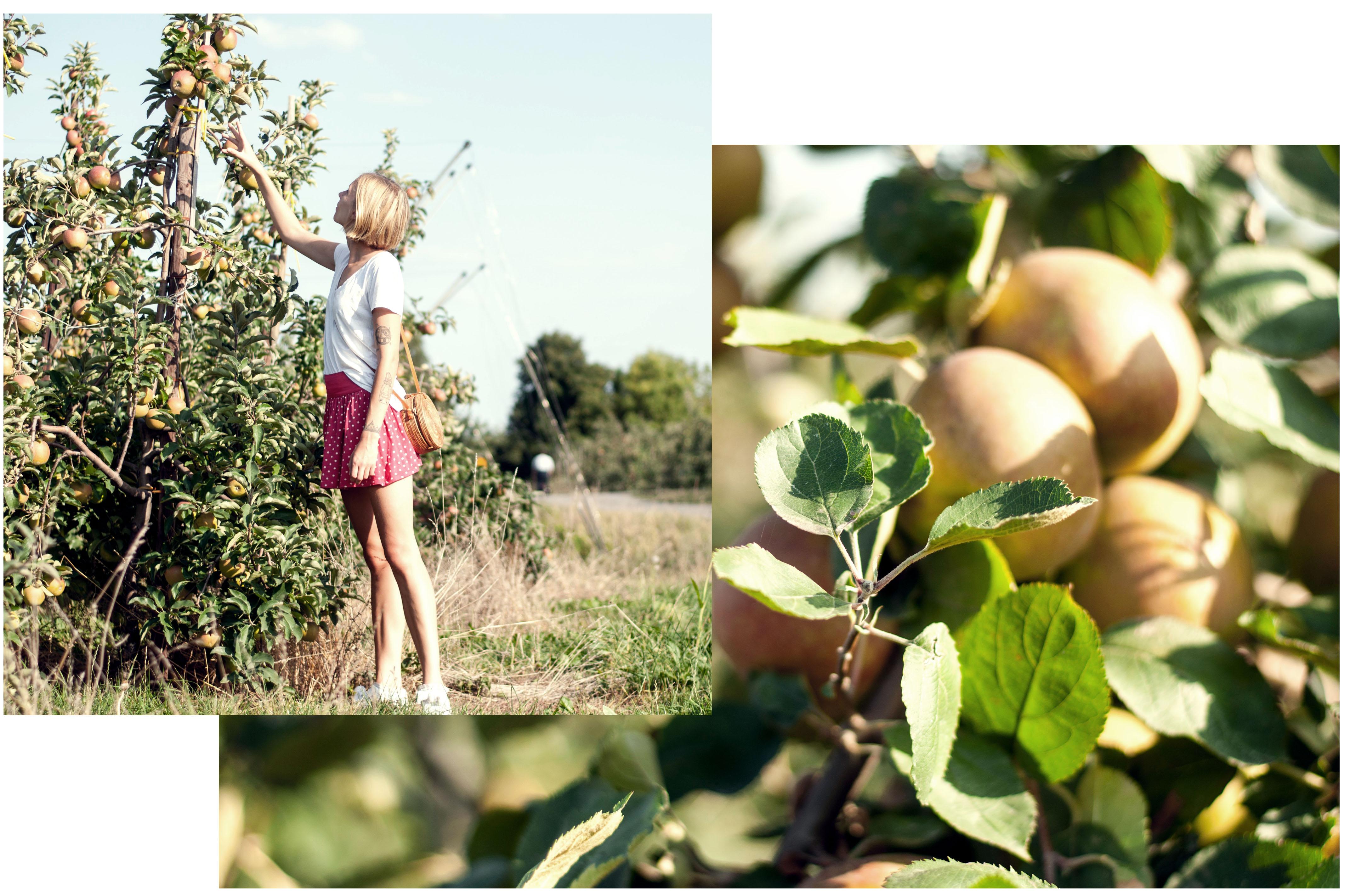 Äpfel im alten Land