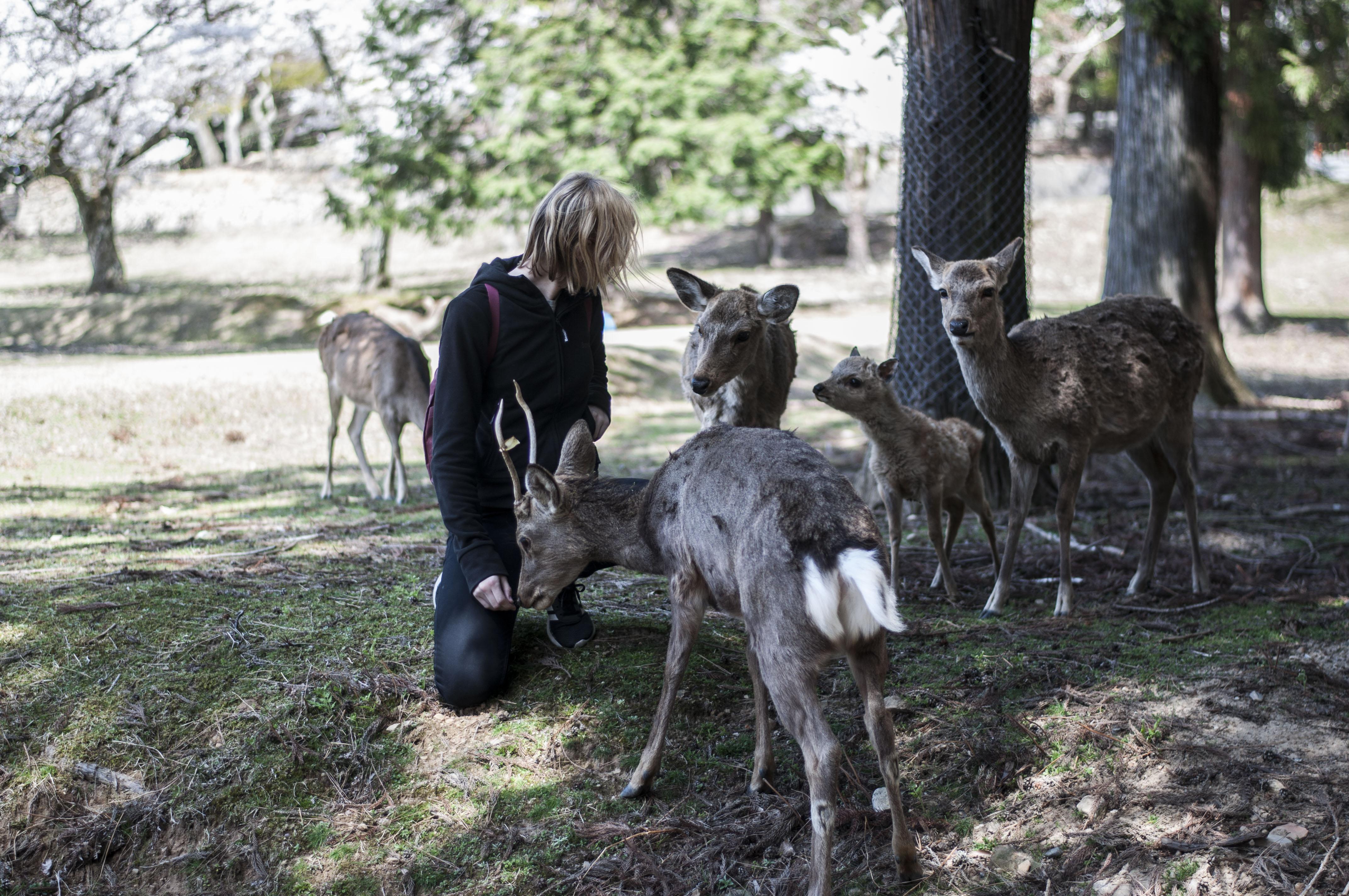 Rehe füttern Nara